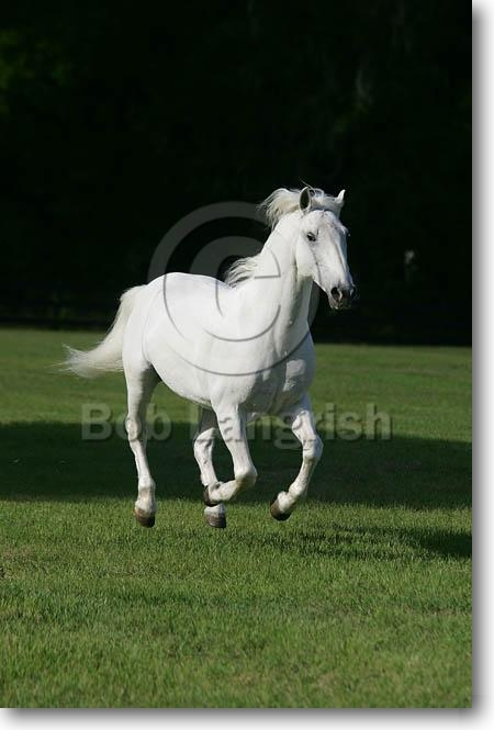The Equines Of Paper Lantern Stables (updated) MD3P0726LipizzanerStallion-ZilkaFavory-AllTheKingsHorses,FL