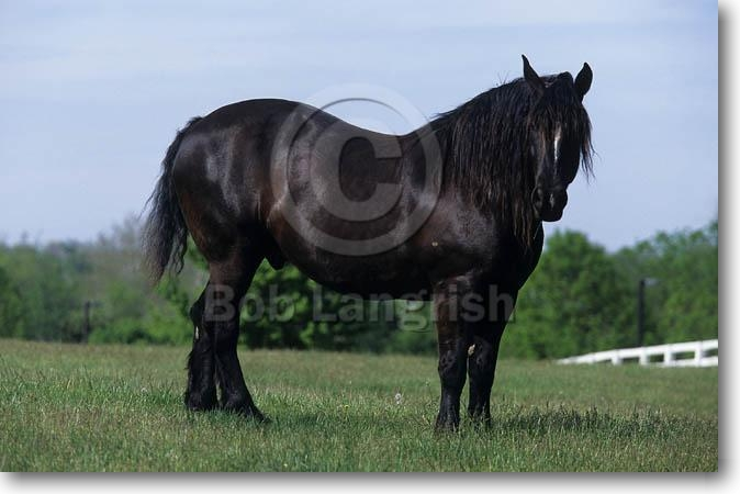 Black percheron horses - photo#21